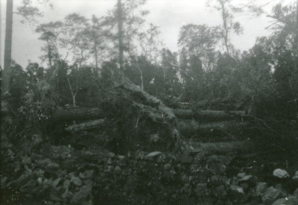 Fallen trees, Crathes.