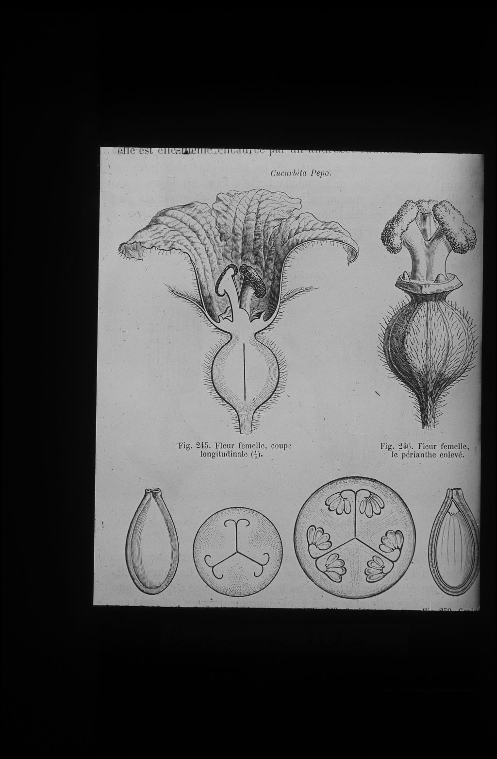 Cucurbita pepo. Female flower drawings.