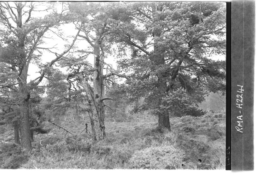 Scots pine, Guisachan Forest.