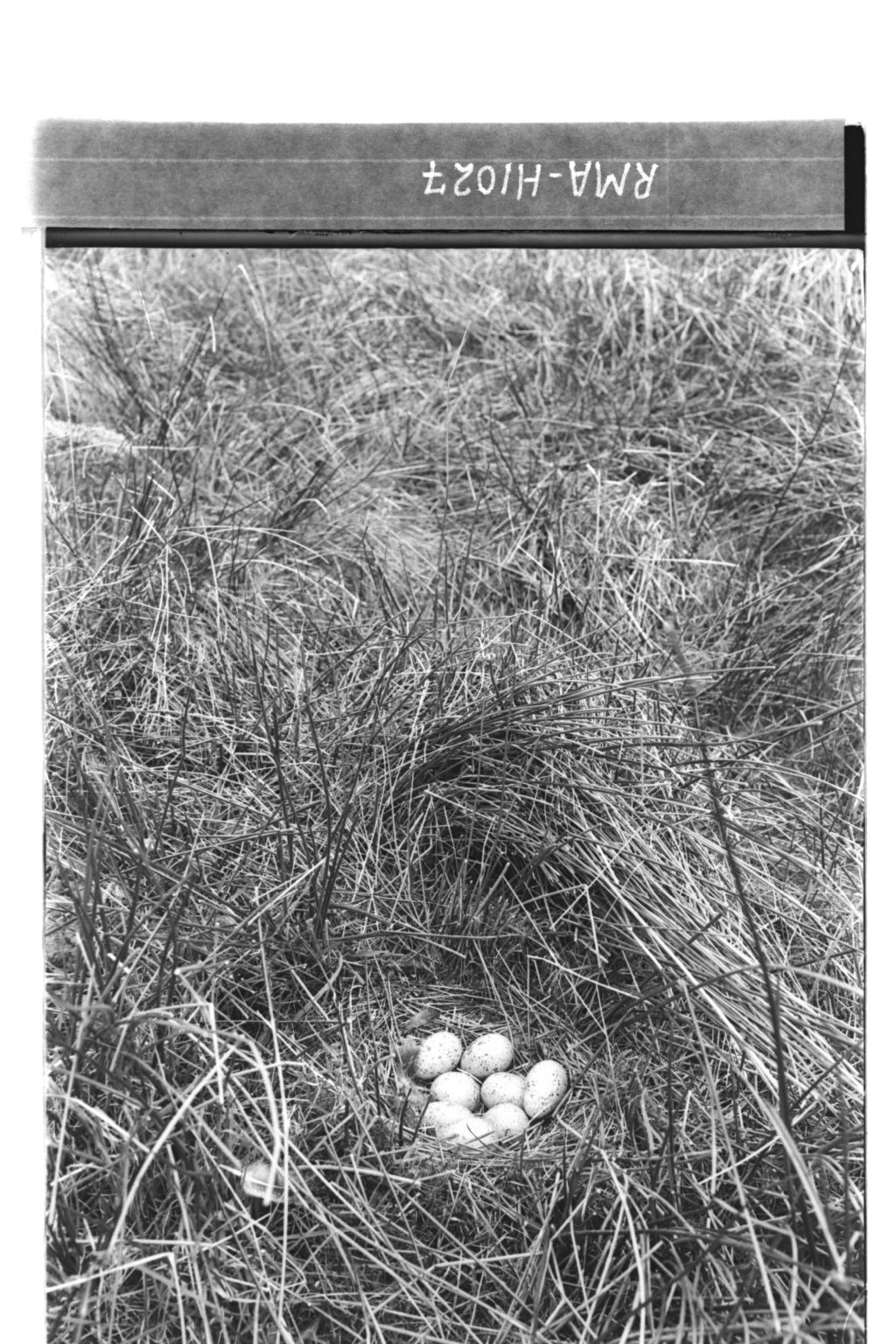 Black grouse's nest.