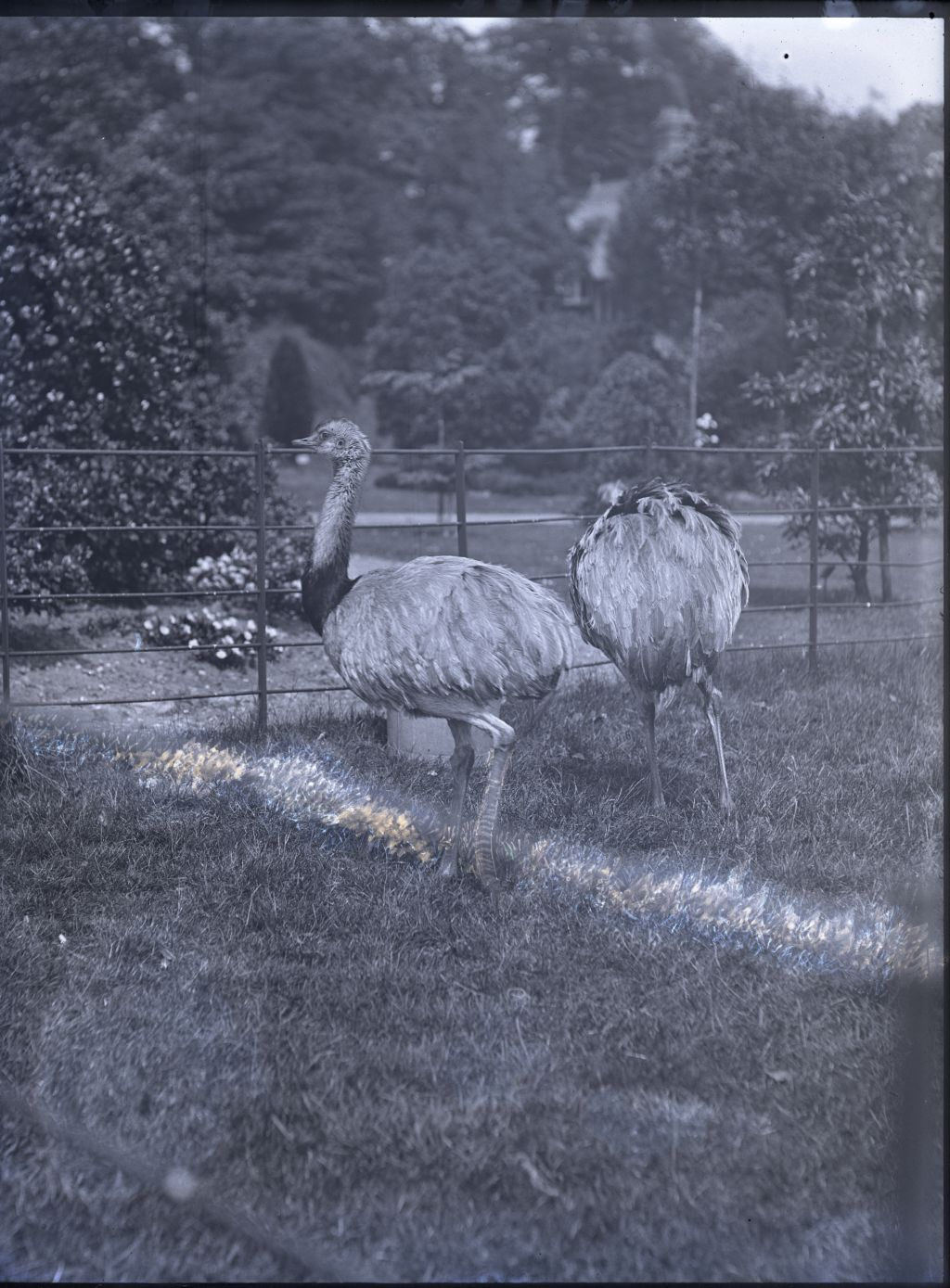 Rheas, Harborne Hall.