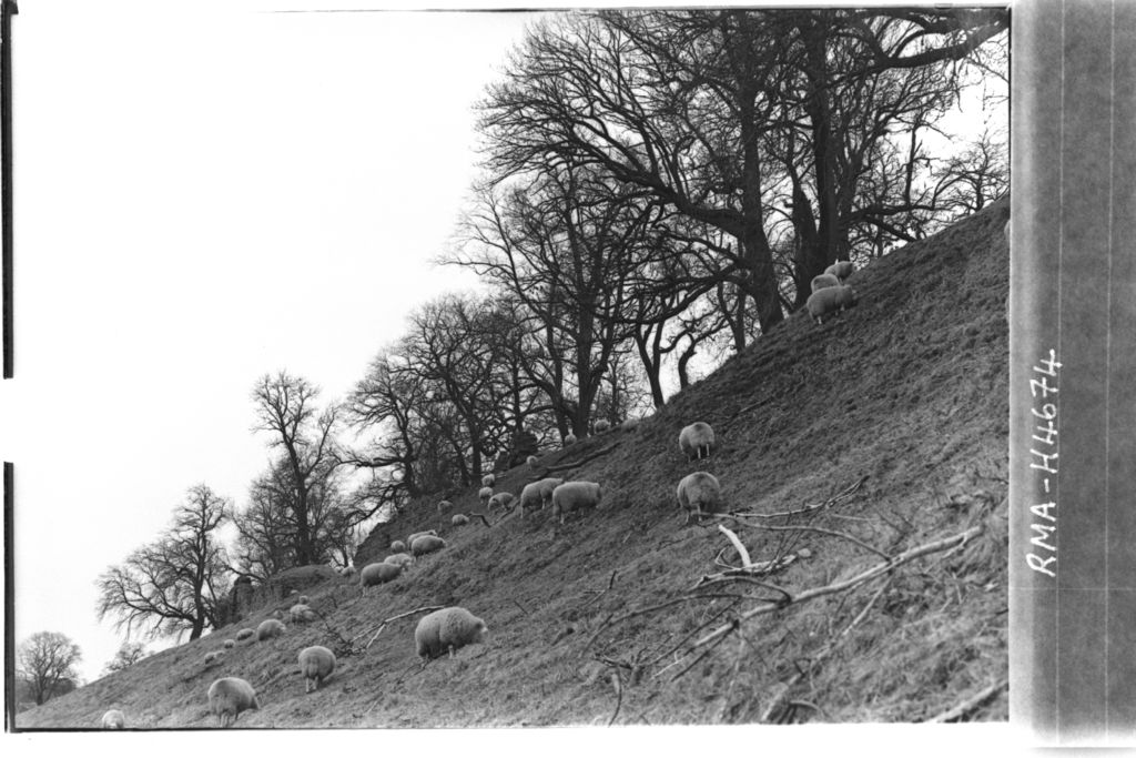 Roxburgh Castle with sheep.