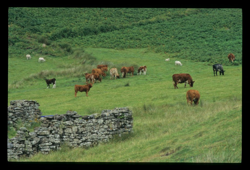 The ironic spectacle of cattle grazing on the cleared hamlet of Boreaig, Skye.