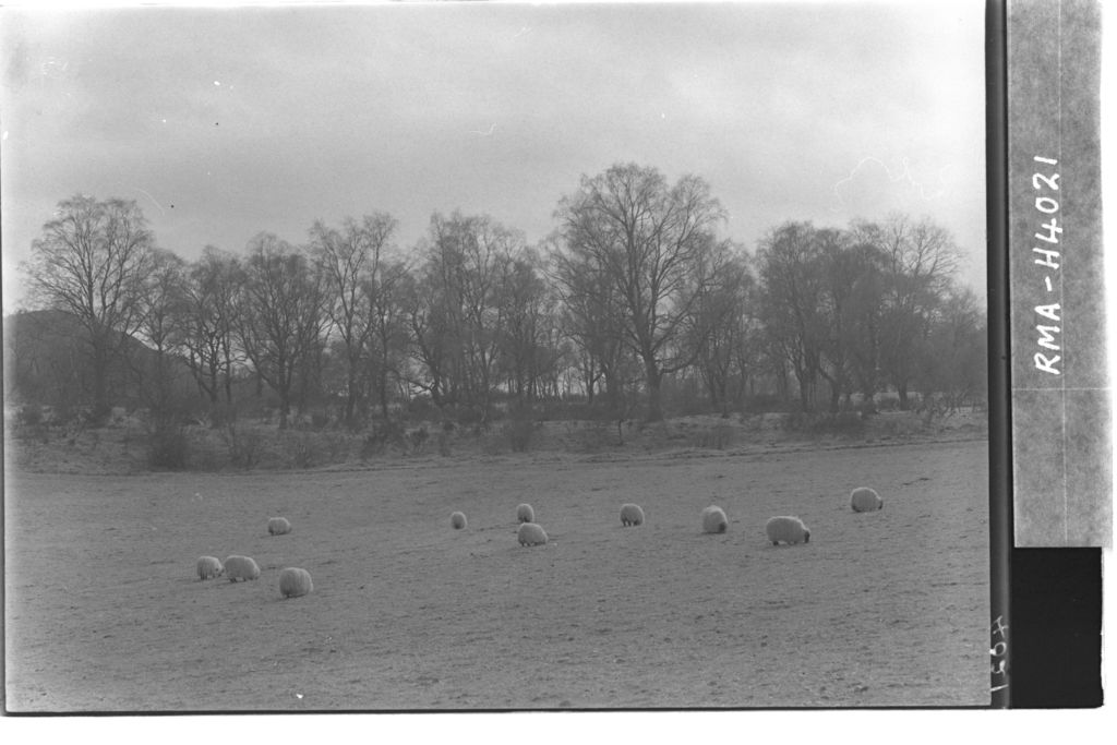 Sheep grazing, Kincardine.