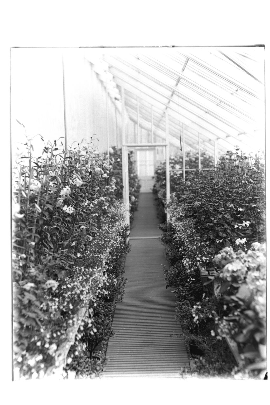 West Greenhouse looking East, Montrave Gardens.
