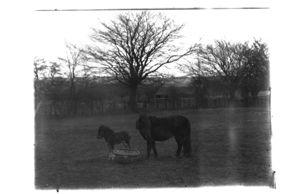 Shetland mare and foal, Montrave.