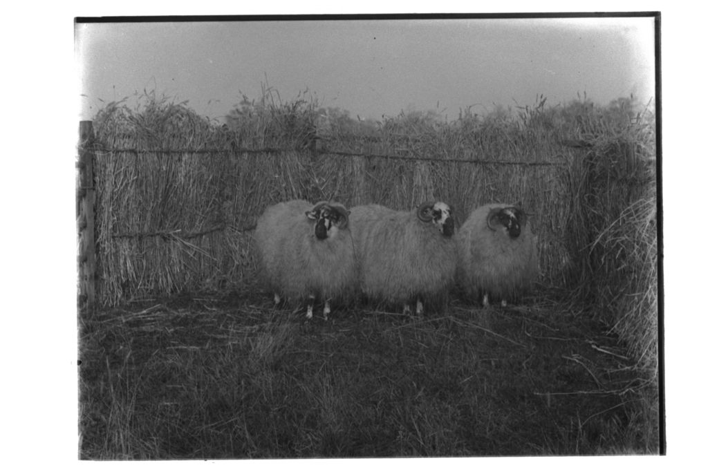 Smithfield Sheep.