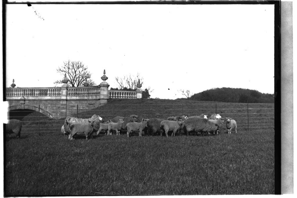 Sheep, Montrave.