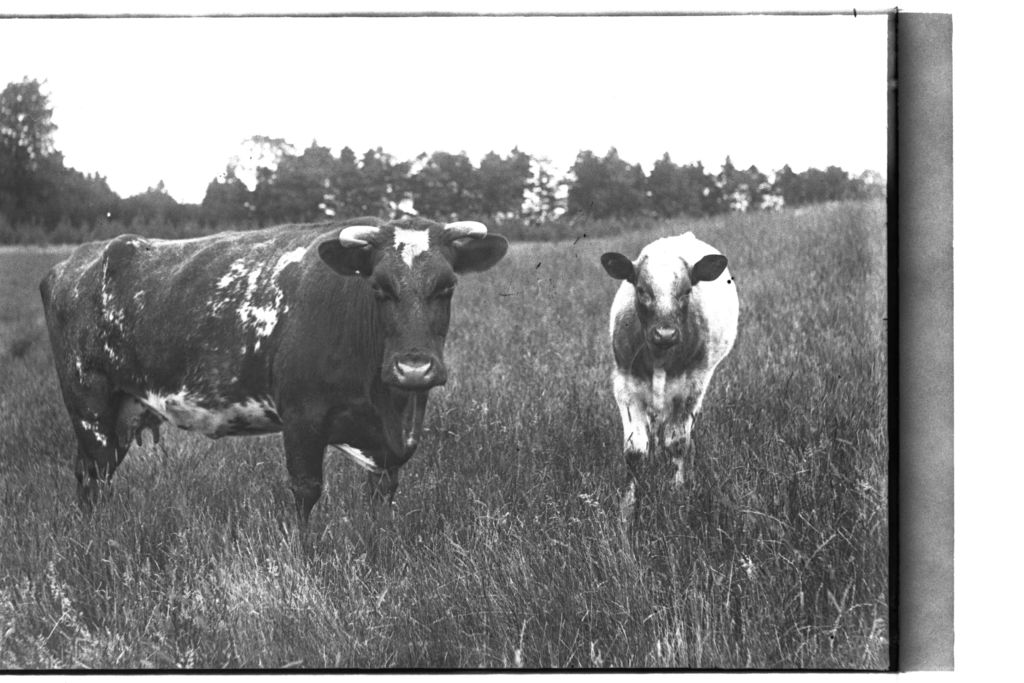 Cattle, Montrave.