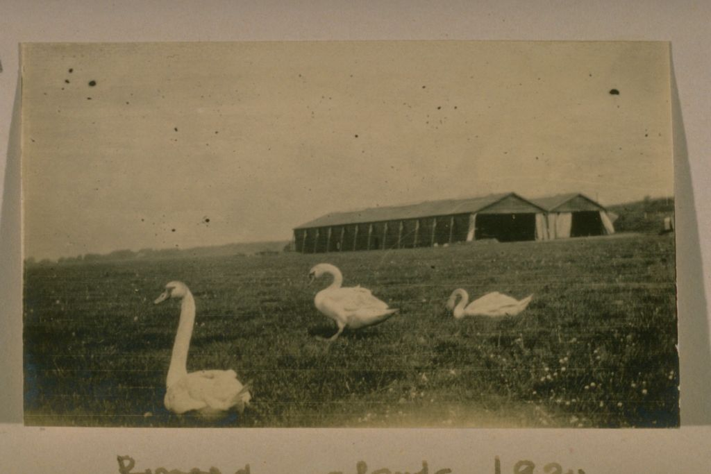Swans on aerodrome.