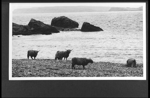 Cattle on the shore at Guirdil.