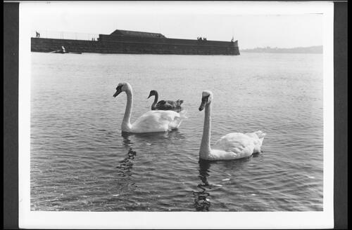 Swans at Harbour, Broughty Ferry