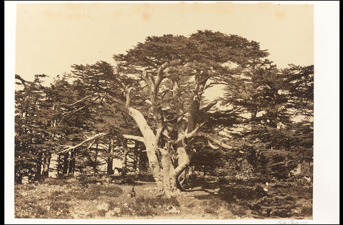 Largest Cedars of the Lebanon.