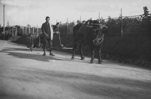 Driver and Buffalo cart, ?Japan