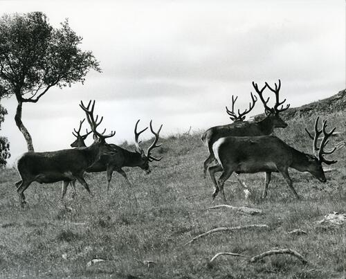 Red deer,Wildlife Park, Kincraig