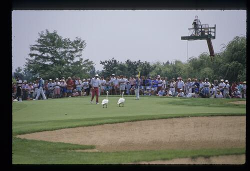 To the spectators amusement a golfer confronts two intruding swans on the green at the USPGA Championship