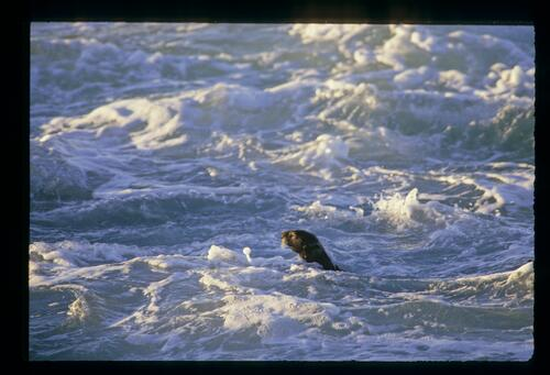 A sea otter caught on camera during the AT&T Pro-Am