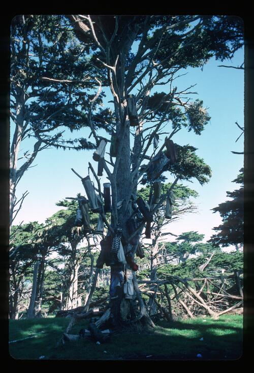 The Golf Bag tree at Cypress Point