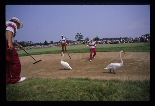 Greenkeepers trying to remove swans from a bunker at the 1989 USPGA