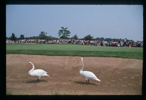 Swans in a bunker at Kemper Lakes during the 1989 USPGA