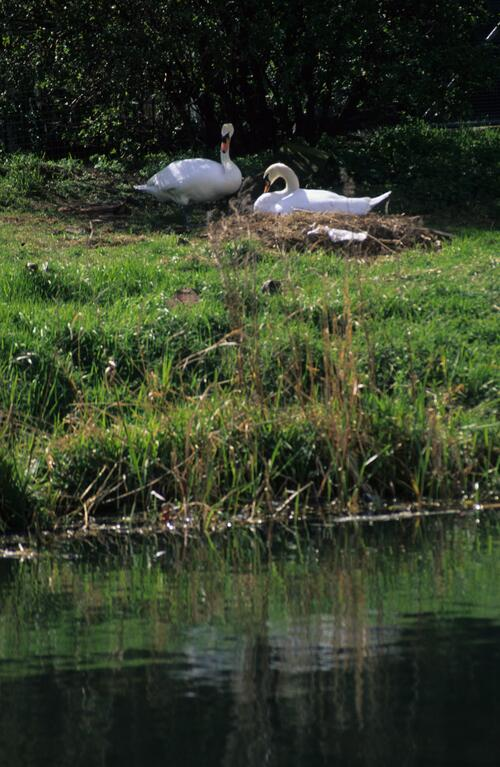 Nesting Swans on the Union Canal.