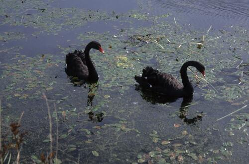 Black Swans on the Union Canal.