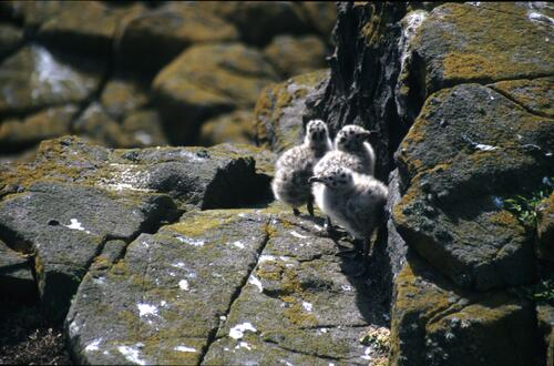 Gull chicks on the rocks, May Island.
