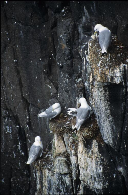 Nesting Kittiwakes on the cliffs, May Island.