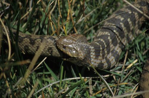 Adder on Assif Anfergel (eating!)