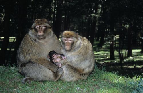 Barbary Apes family above Azrou.