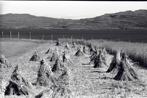Oat field with stooks, Burg Farm, Isle of Mull.