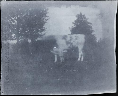 [Cow and trees]