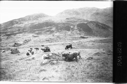 Highland cattle, Glen Finglas.