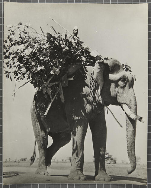 Elephant bringing home daily bread