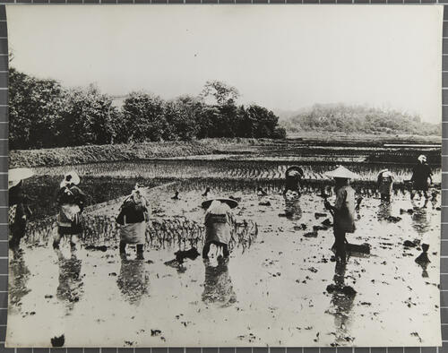 Japan the rice industry [workers] planting rice