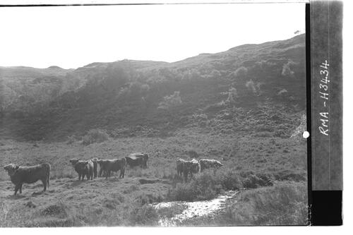 West Highland Herd.