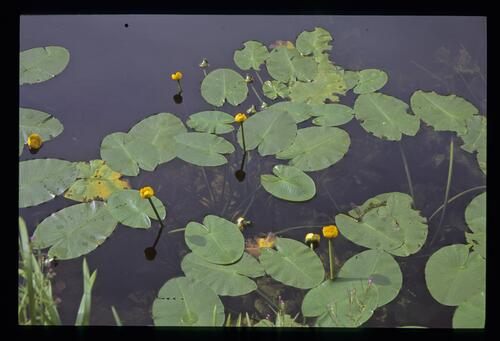Yellow waterlilies in the Forth and Clyde Canal.
