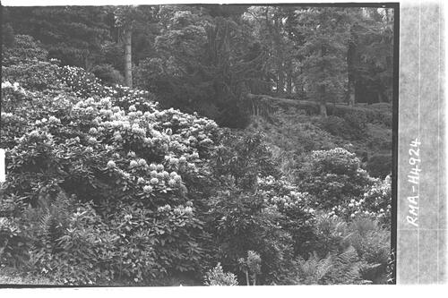 Rhododendrons, Fingask Castle.
