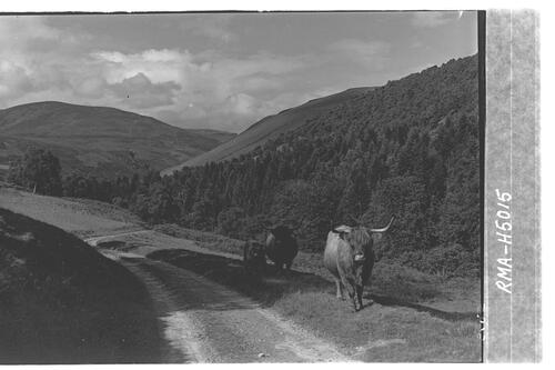 Highland cattle, Glen Tilt.