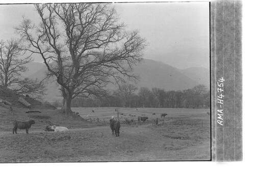 Highland herd, Dalmally.