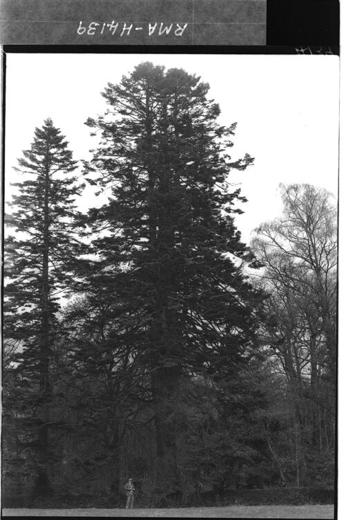 Abies pectinata, Headfort.