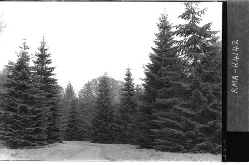 Abies grandis, avenue, Headfort.