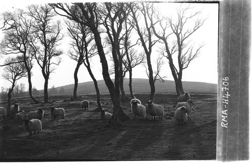 Sheep study, Donside.