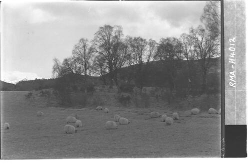 Sheep, Kincardine, Strathspey.