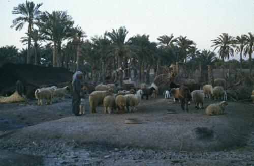 Bedouin herd of sheep