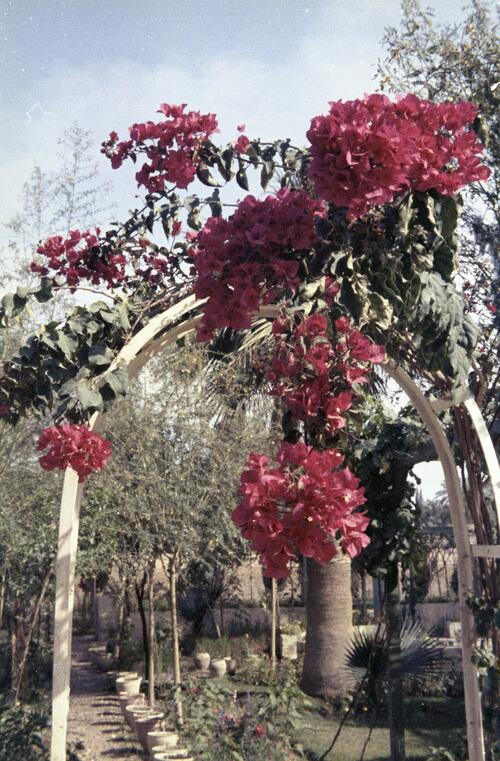 Flowering plant from Bedouin garden