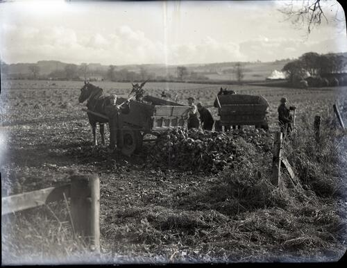 loading beets on to horse drawn carts, Arbuckes, Logie Farm, for the British Sugar Corporation Beet factory in Cupar.