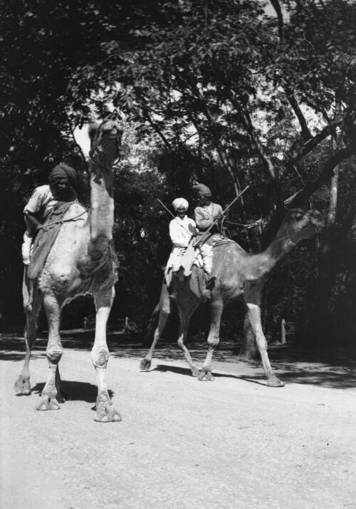 Camels, two. Prince of Wales Drive, Ghorpuri