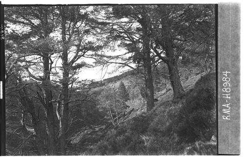 Native pine wood, Glen Feshie.