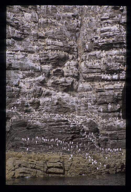 Massed seagulls on the cliffs, May Island.